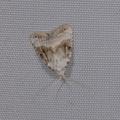 Meganola albula -- Meganola albula (Denis & Schiffermüller, 1775) Nole blanchâtre