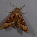 Phlogophora meticulosa -- Phlogophora meticulosa (Linnaeus, 1758) Craintive, Méticuleuse