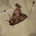 Apamea epomidion -- Apamea epomidion (Haworth, 1809) Noctuelle hépatique