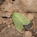 Bena bicolorana -- Bena bicolorana (Fuessly, 1775) Halias du chêne