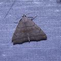 Herminia tarsicrinalis -- Herminia tarsicrinalis (Knoch, 1782) Herminie des ronces