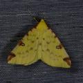 Opisthograptis luteolata -- Opisthograptis luteolata (Linnaeus, 1758) Citronnelle rouillée, Phalène de l'Alisier