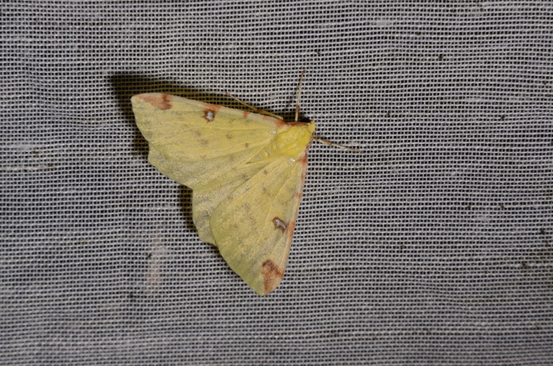Chasse Aux Papillons - Marais d Yves - 06-09-2016 - Opisthograptis luteolata.JPG