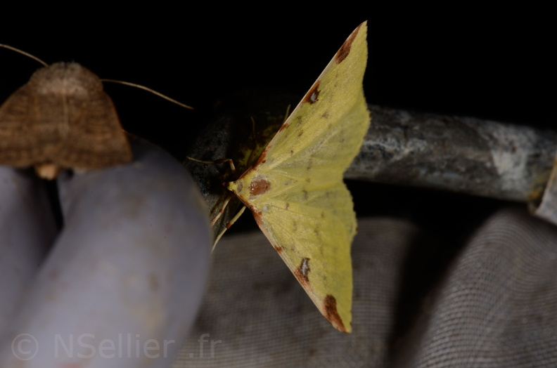 Chasse Aux Papillons - Marais d Yves - 11-09-2015 -Opisthograptis luteolata.JPG