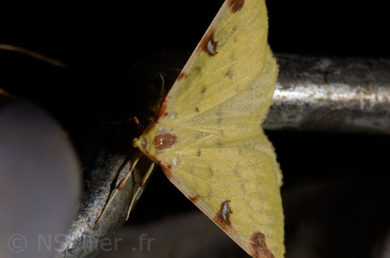 Chasse Aux Papillons - Marais d Yves - 11-09-2015 -Opisthograptis luteolata-1.JPG