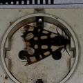 Arctia villica - Epicallia villica -- Arctia villica - Epicallia villica (Linnaeus, 1758) Ecaille villageoise - Ecaille fermière