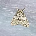 Lymantria monacha -- Lymantria monacha (Linnaeus, 1758) Nonne, Bombyx moine, Cul-noir