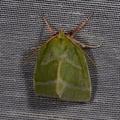 Pseudoips prasinanus -- Pseudoips prasinanus (Linnaeus, 1758) Halias du Hêtre, Halie du Hêtre