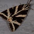 Euplagia quadripunctaria -- Euplagia quadripunctaria (Poda, 1761) Ecaille chinée, Callimorphe