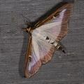 Cydalima perspectalis -- Cydalima perspectalis (Walker, 1859) Pyrale du buis