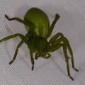 Micrommata ligurina -- Micrommata ligurina (C. L. Koch, 1845)