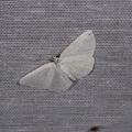 Chasse Aux Papillons - Amuré - 04-09-2014 - Cabera exanthemata -- Cabera exanthemata (Scopoli, 1763) Cabère pustulée