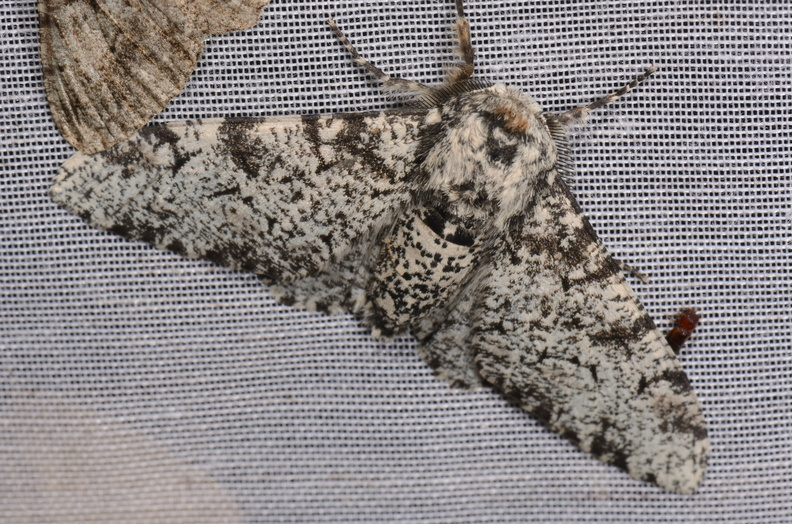 Chasse Aux Papillons - Chizé - 02-07-2019 - biston betularia.jpg