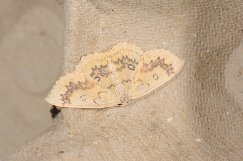 Chasse Aux Papillons - Chizé - 16-09-2019 - Cyclophora annularia (2).jpg