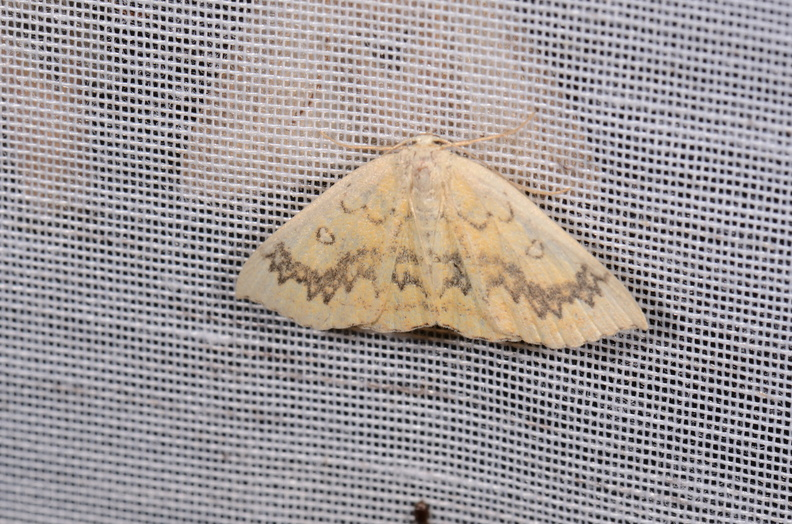 Chasse Aux Papillons - Chizé - 16-09-2019 - Cyclophora annularia (5).jpg
