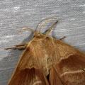 Macrothylacia rubi -- Macrothylacia rubi (Linnaeus, 1758) Bombyx de la Ronce (Le), Polyphage (La)