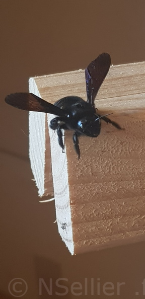 Xylocopa sp.