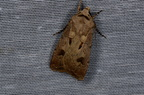 Agrotis exclamationis