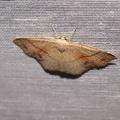 Cyclophora punctaria -- Cyclophora punctaria (Linnaeus, 1758) Ephyre ponctuée (L'), Soutenue (La)