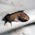 Notodonta ziczac -- Notodonta ziczac (Linnaeus, 1758) Bois-Veiné (Le)