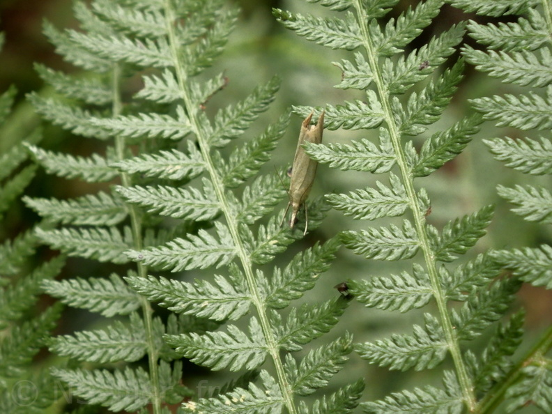 Chasse Aux Papillons - Belleme - 14-08-2020 - Agriphila straminella (2).JPG