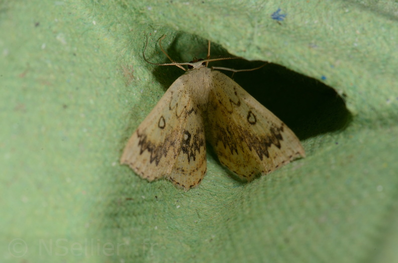 Chasse Aux Papillons - Saint Savin - 05-09-2020 - Cyclophora annularia (100).jpg