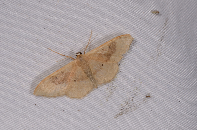 Chasse Aux Papillons - Chauvigny - 05-08-2020 - Idaea degeneraria (81).jpg