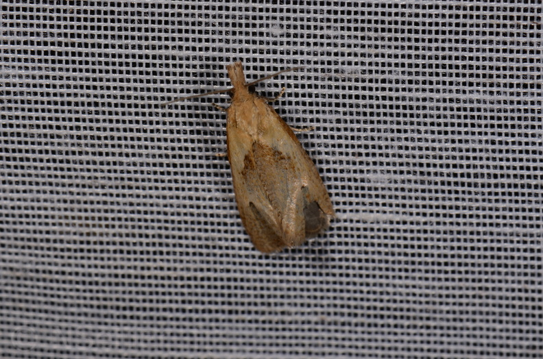 Chasse Aux Papillons - Amuré - 25-07-2020 - Phtheochroa inopiana (29).jpg