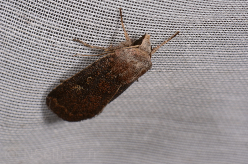 Chasse Aux Papillons - Hanc - 09-09-2020 - Xestia xanthographa (40).jpg