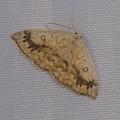 Cyclophora annularia -- Cyclophora annularia (Fabricius, 1775) Phalène mariée