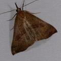 Hypena proboscidalis -- Hypena proboscidalis (Linnaeus, 1758) Noctuelle à museau, Hypène proboscidale