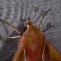 Deilephila elpenor -- Deilephila elpenor (Linnaeus, 1758) Grand sphinx de la vigne